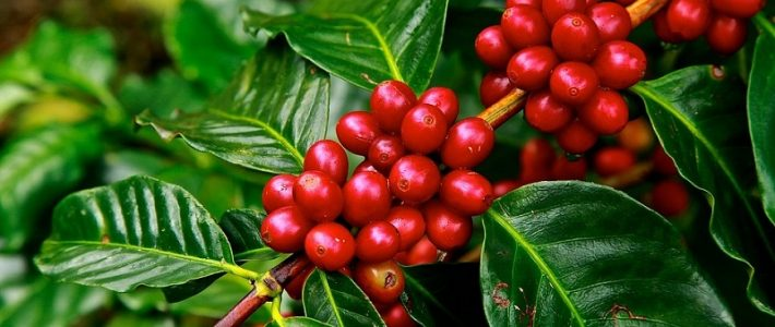How is climate change impacting coffee?